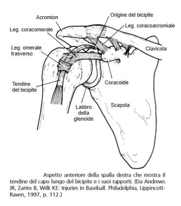 aspetto anteriore del capo lungo del bicipite