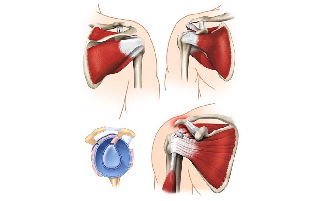 Muscoli coinvolti nel movimento dell'articolazione della spalla