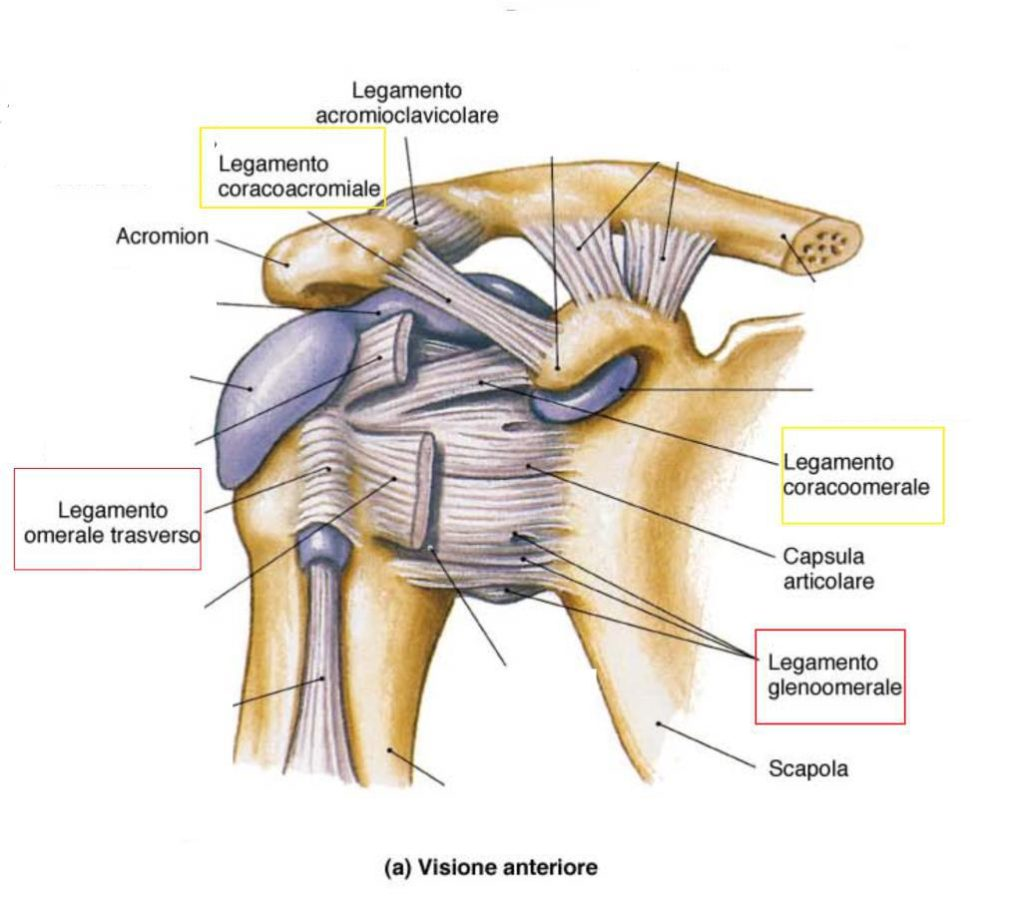 La visione anteriore dell'articolazione della spalla